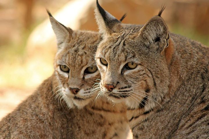 Science On Tap – February – Bobcat Restoration